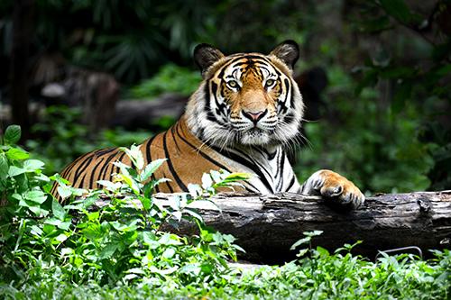 สัตวแพทย์จุฬาฯ เตือนอย่าตื่น! เสือโคร่งติดโควิด ยังไม่พบติดต่อคน